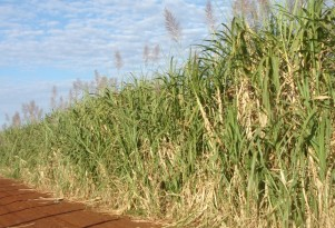 Sugarcane, modified to produce oil, promises better biodiesel