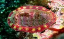 Chiton marine snail could inspire improved battery and solar cell development (Wikimedia Commons)