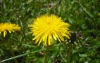 Green Tech: Tires Made From Dandelions Replace Rubber