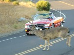 Deer and car