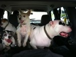 Dogs in the car [photo by John d'Addario]