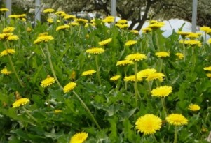 Dandelion Not Just For Salads Anymore; How About Floor Mats?