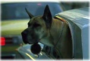 Dogs Gone Wild - in Cars!