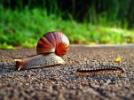 Snail crossing the road [by Flickr user schristia]