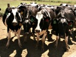 Methane from livestock nearing worst-case scenario for climate change: scientist