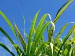 Biofuel crops (photo: Texas A&M University biofuels research alliance)