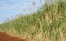 Brazilian sugarcane