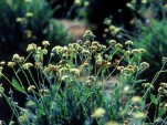 Guayule plant [Image: U.S. Department of Agriculture via Flickr]